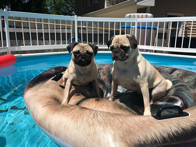 pugs in a pool.