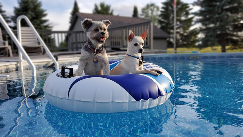 dogs on a pool float.